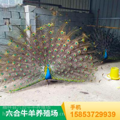 山东济宁 供应优质孔雀苗/特种观赏孔雀苗 养殖场出售