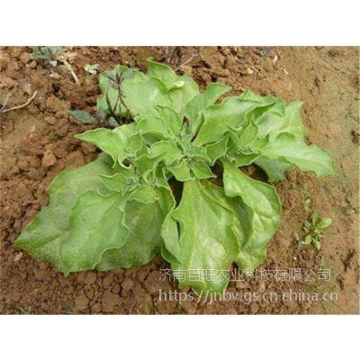 冰菜种子 非洲冰草 特种蔬菜 济南冰菜种子批发 日本武藏野冰菜种子