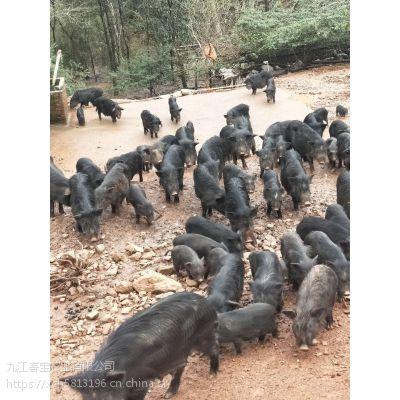 浙江上虞市有没有山上放养的藏香猪