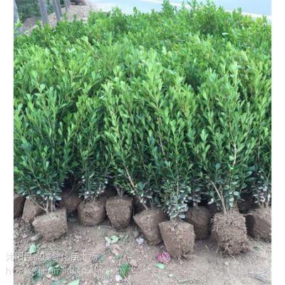 瓜子黄杨产地江苏沭阳 这里30公分40公分瓜子黄杨苗价格真的便宜