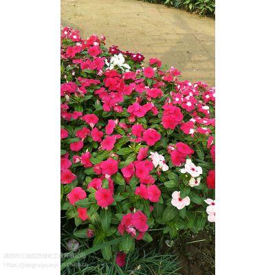 青州天天开种植基地;'天天开价格&批发采购;节日庆典常用草花@江瑞园艺