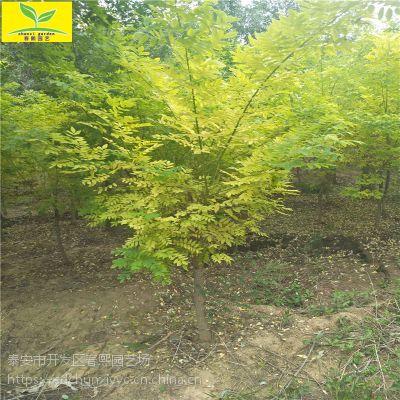 3公分金枝槐价格 5-10公分金枝槐哪里买 园林绿化植物 金枝槐哪里买