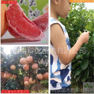 三红蜜柚 四川科优苗木柚子苗批发零售 品种保证