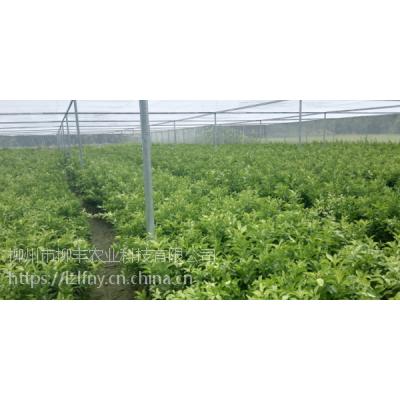 梅州沙糖桔幼苗多少钱一棵?