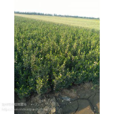 大叶黄杨基地,河北大叶黄杨批发价格