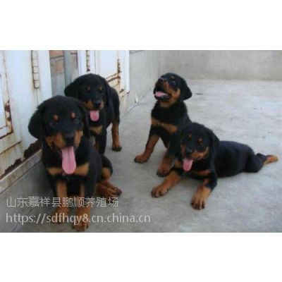 标准纯种罗威纳犬的特征 罗威纳犬幼犬多少钱一只