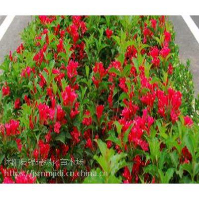 江苏红王子锦带批发基地 出售1米高3分支红王子锦带