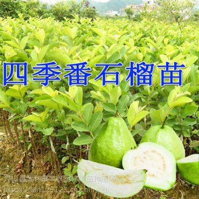 德宏嫁接台湾四季珍珠番石榴苗 安宁芭乐果树苗红肉番石榴苗 当年结果15777793411