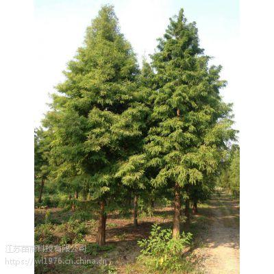 2公分中山杉价格 高度3-4米中山杉价格/批发