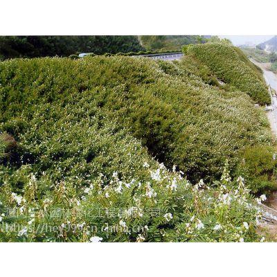 专业销售绿化草种灌木种子昆明仓库大量存活