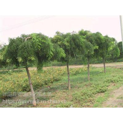 垂槐哪里有卖 价格哪里便宜 江苏垂槐基地3厘米-12厘米粗现货价优