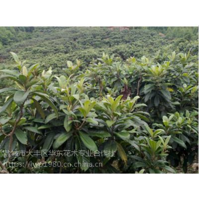 湖南枇杷树基地 15公分枇杷树价格/报价