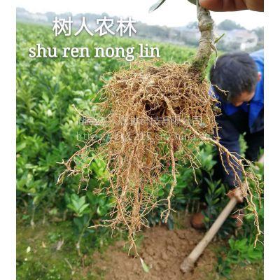 湖南树人农林公司长期供应优质无病毒柑橘苗木 柑橘新品种特早红肉脐橙
