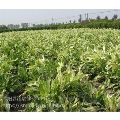 江苏玉簪花种植基地 提供玉簪花哪里便宜哪里有卖的咨询服务