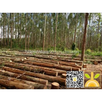 尚高木业供应新伐巴西剪枝桉木直径18-30CM长度3.9M同5.9M