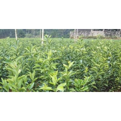 供应梧州2018 柑橘果苗木出售