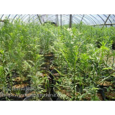 批发红豆杉小苗¥高20-100公分¥江西基地种植