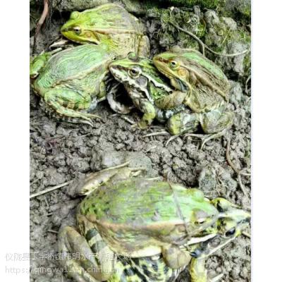 南充生态健康青蛙养殖基地大量青蛙黑斑蛙批发
