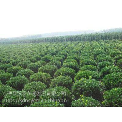 山东省宁津县柴胡店镇崔杨村银泰苗圃基地种植的黄杨球,冠幅饱满,球形优美,自产自销。