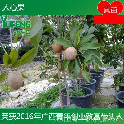台湾人心果 优质品种水果王果树苗 南方北方种植人心果 庭院果树