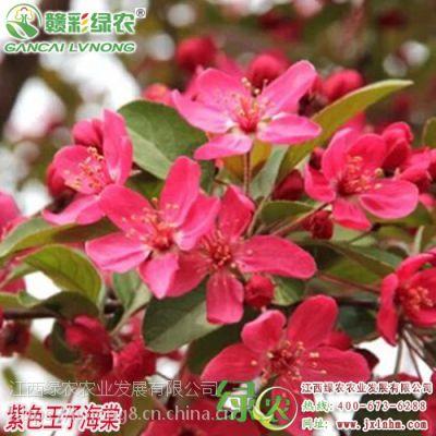 绿化树苗 紫色王子海棠2018年新报价 盆栽地栽海棠树苗 观花观叶海棠