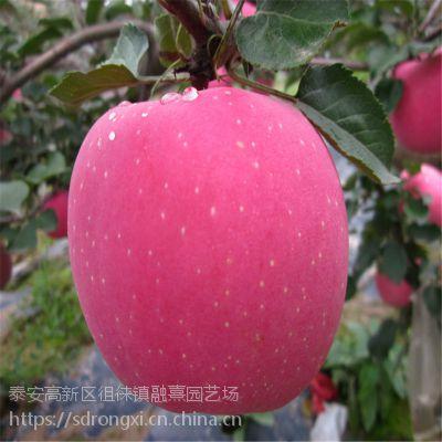 1米高果树苗 山东基地直销苹果树苗 矮化红富士1公分2公分规格齐全 量大