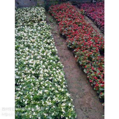 四季海棠供应