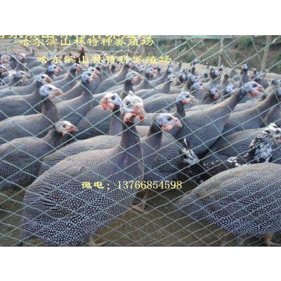 七台河珍珠鸡养殖场、珍珠鸡雏、黑龙江珍珠鸡养殖场 哈尔滨珍珠鸡养殖场