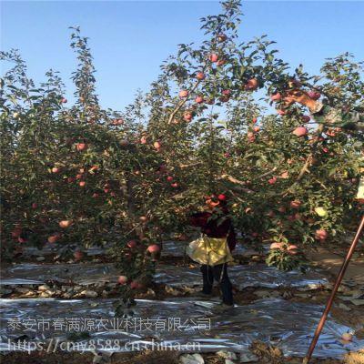 红富士苹果苗走苗