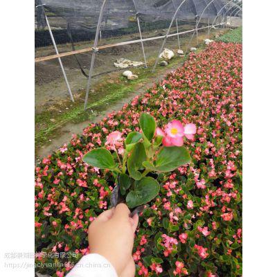 四季海棠价格 海棠花批发 工程花卉批发基地