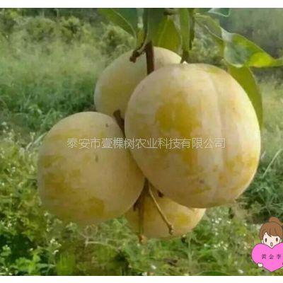 基地供应黄金李子树苗 根系发达 无病虫害