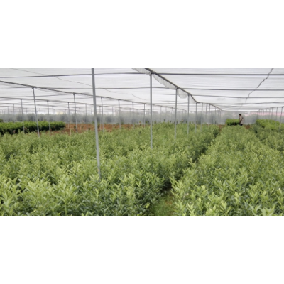荔浦默科特柑橘苗价格多少钱?