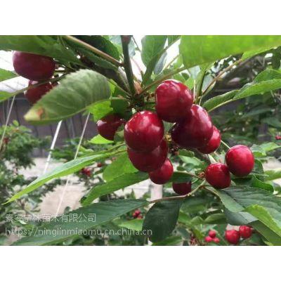 供应基地内新品种南早红樱桃苗 新报价