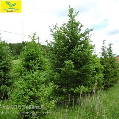 供应云杉树 规格3米-6米 庭院绿化植物 圣诞树云杉