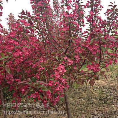 江苏千亩海棠种植基地 地径3-4-5公分海棠树苗价格便宜卖
