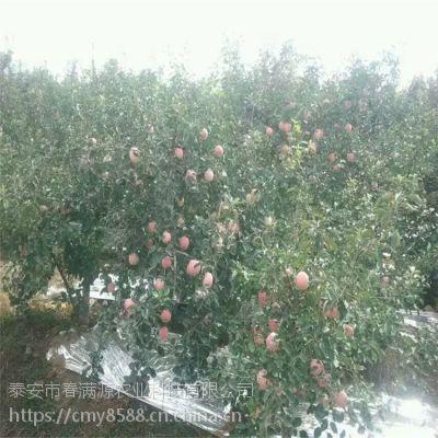红富士苹果苗假植