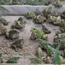 成都生态青蛙养殖基地大量青蛙批发