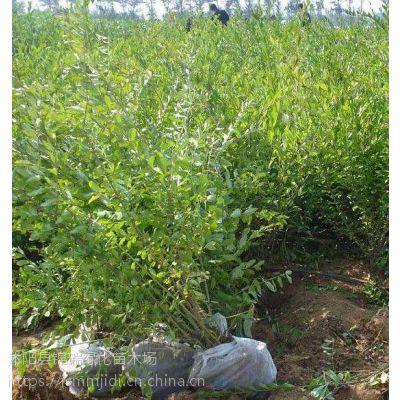 江苏水蜡苗种植基地 常年供应一二年生水蜡苗