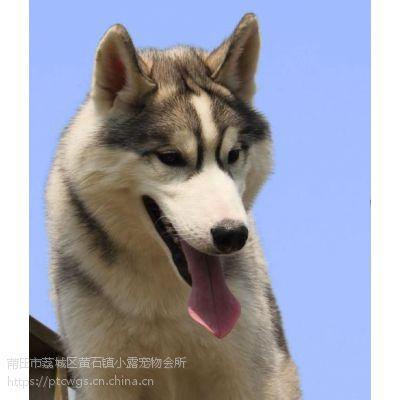 涵江哈士奇多少钱,涵江哈士奇宠物,涵江哈士奇哪家好,小露供