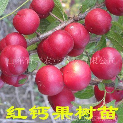 钙果苗 欧李苗 农大中华钙果树苗 当年结果 地栽盆栽 南北方种植