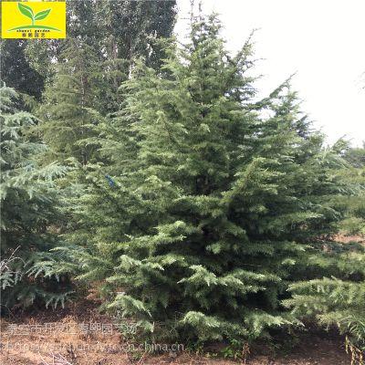 精品雪松 山东供应3-9米精品雪松 绿化园林种植供应 规格齐全 量大从优