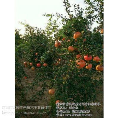 富民林果(图),河阴石榴苗,石榴苗