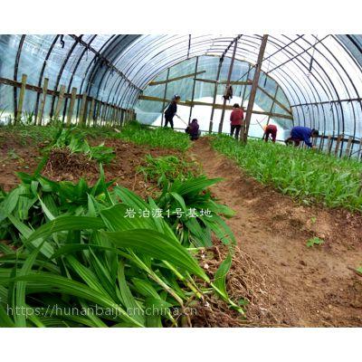 湖南白芨种子13807443365 白及种苗 三叉大白及 白芨种植技术