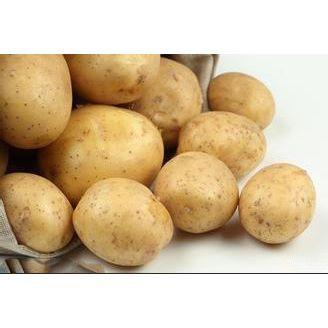 供应一级土豆种子荷兰15荷兰土豆种子厂家