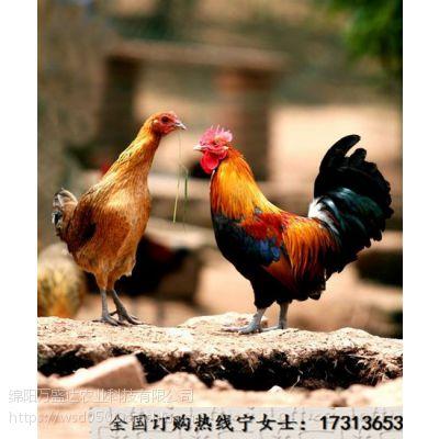 简阳快大黄土鸡苗孵化基地