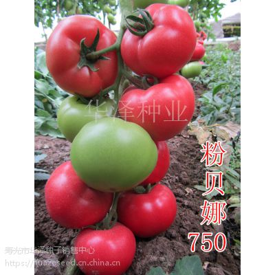 供应 冬季 耐寒 高圆 西红柿种子 不扁 不空心 不青皮 番茄种子!粉贝娜750