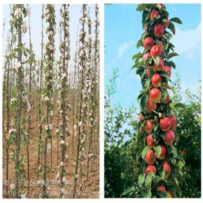 柱状苹果苗 柱状苹果苗丰产吗 柱状苹果苗基地
