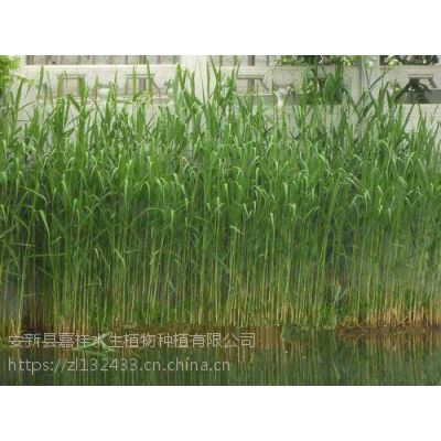 大量低价供应芦苇苗耐寒芦苇苗 湿地芦苇苗 北京芦苇苗.