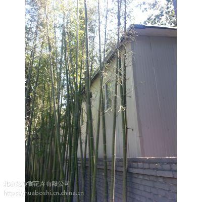 北京各种品种竹子基地大量批发销售适合北京种植竹子