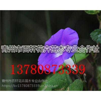 山东青州市牵牛花小苗现货供应,青州百轩花卉苗木